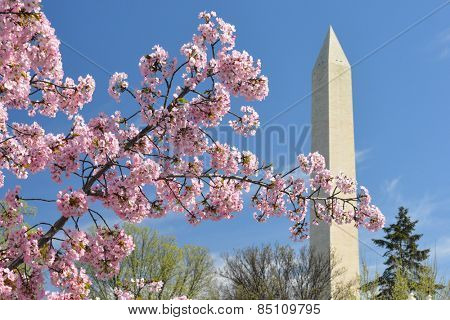 Washington DC in Spring - Cherry Blossoms an Washington Monument