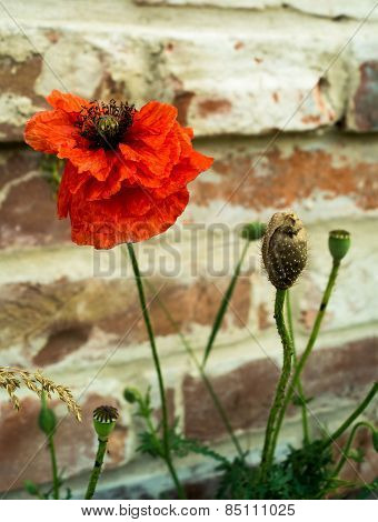 Poppy Flower On A Background Of A Brick Wall