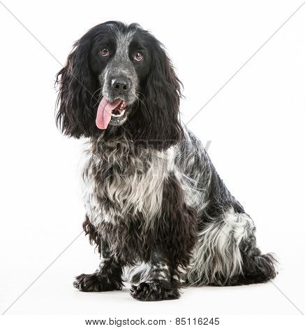 black cocker spaniel isolated on a white background