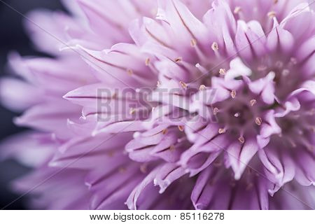 Extreme macro closeup of purple chive flower