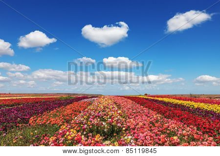 Field of multi-colored decorative flowers buttercups Ranunculus.  Flowers planted with broad bands of different colors. Spring fine day