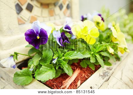 Beautiful viola flowers in the garden.