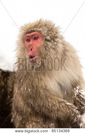 Japanese Snow Monkey at Jigokudani  Yudanaka Nagano Japan