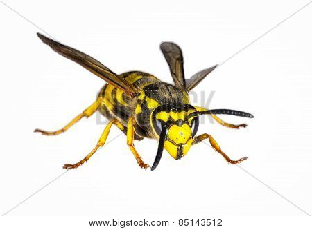 European Wasp Closeup On White Background