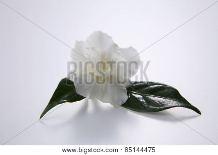 single jasmine flower with the leaf