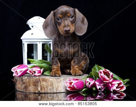 dachshund chocolate puppy