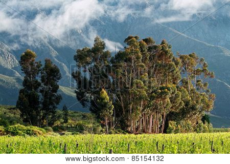 Vineyard with trees against a backdrop of mountains, Western Cape, South Africa