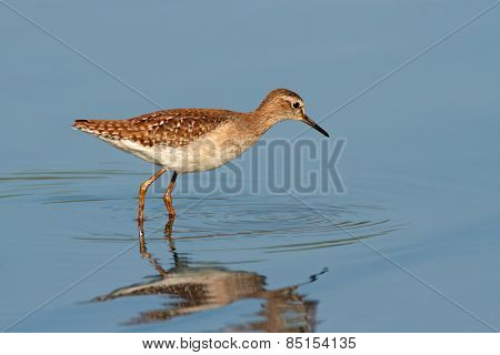 A ruff (Philomachus pugnax) foraging in water, South Africa