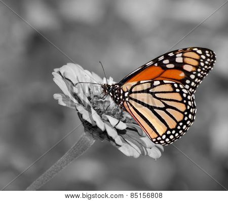 Female Monarch butterfly feeding on Zinnia flower, color spot on black and white