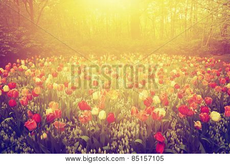 Colorful tulip flowers in the garden on sunny day in spring. Vintage, afternoon mood.