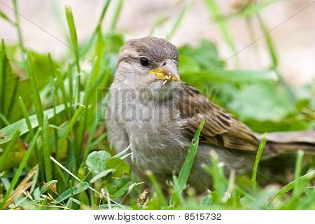 Passer Domesticus, Haussperling