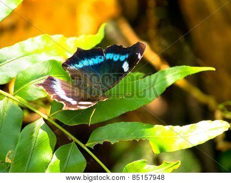 Butterfly Kaniska canace in Sefa Utaki, Okinawa