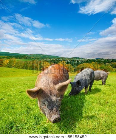 Pasturing pigs: domestic animals eating fresh green grass on a sunny day