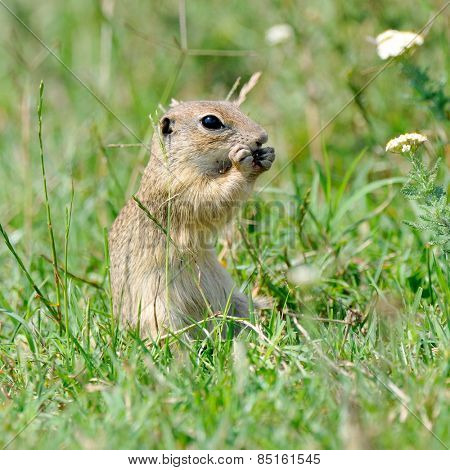 prairie dog in natural habitat