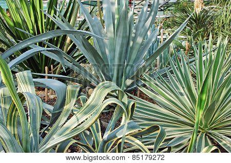 Succulent plant agave