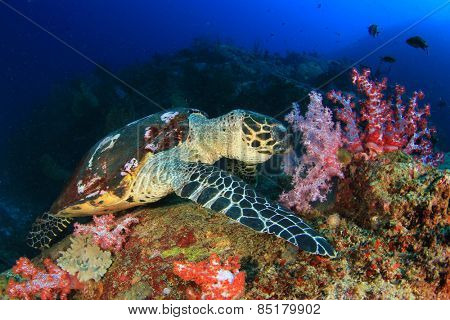 Hawksbill Sea Turtle eating soft corals