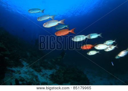 Crescent-tail Bigeye fish and scuba divers