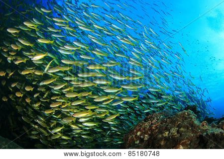 Yellow Bigeye Snapper fish shoal on coral reef
