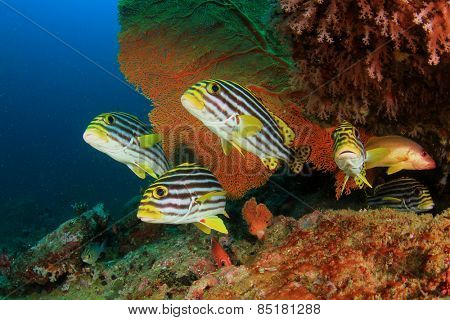 Oriental Sweetlips fish and Crescent-tail Bigeyes