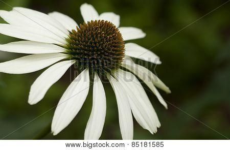 White Echinacea Coneflower Daisy