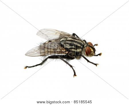 soft focus fly isolated on a white