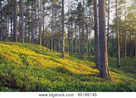 A Nordic Pine Forest in Evening Light
