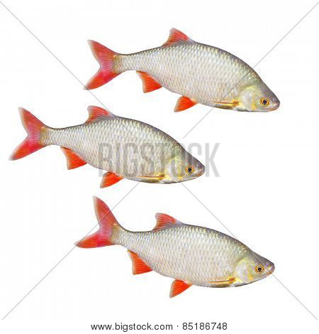 The Common Rudd (Scardinius erythropthalmus). Bentho-pelagic freshwater fish.