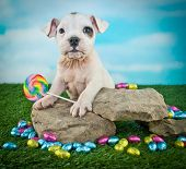 pic of lollipops  - Cute Bulldog puppy that looks like he is holding a lollipop with a smile on his face - JPG