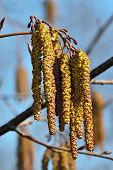 pic of alder-tree  - Spring - JPG