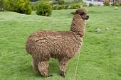 foto of alpaca  - A view of an alpaca on a green field on a sunny day - JPG