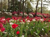 stock photo of azalea  - Azaleas and tulips in full bloom in early Spring - JPG