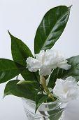 picture of jasmine  - jasmine jasmine flower in a glass with water - JPG