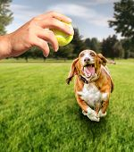 foto of basset hound  -  basset hound running to try and catch a tennis ball in mid - JPG