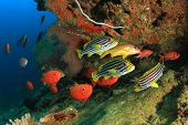 picture of biodiversity  - Oriental Sweetlips fish and Crescent - JPG