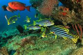 image of bigeye  - Oriental Sweetlips fish and Crescent - JPG