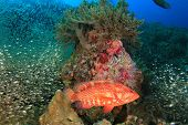 foto of grouper  - Coral Grouper  - JPG