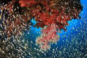 image of swarm  - Coral Reef with swarms of Glassfish  - JPG