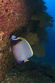 image of emperor  - Emperor Angelfish on coral reef - JPG