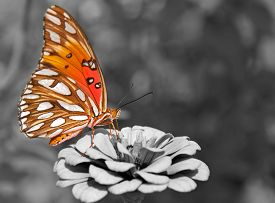stock photo of zinnias  - Ventral view of a Gulf Fritillary butterfly feeding on a Zinnia - JPG
