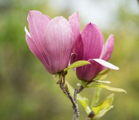 picture of saucer magnolia  -  pink magnolia flowers isolated on white background - JPG