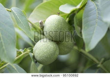 Walnuts Keep Up On A Tree