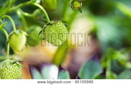 Unripe Strawberry In Garden During Summer Season
