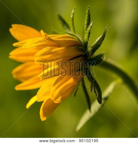 Bright Yellow Rudbeckia Or Black Eyed Susan Flower In The Garden