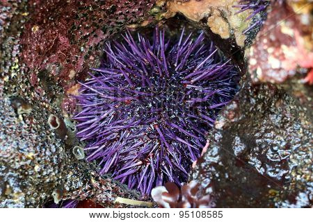 Purple Sea Urchin in a Rock