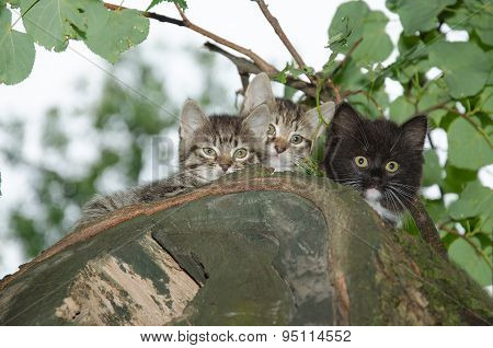 Three Young Wild Cats