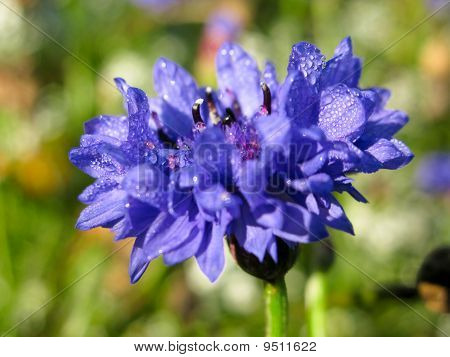 Closeup of a cornflower Centaurea cyanus