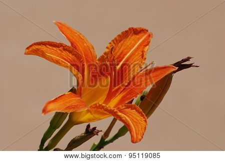 Orange Daylily flower