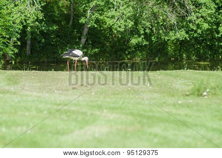Stork On The Green Grass, Blurred Front