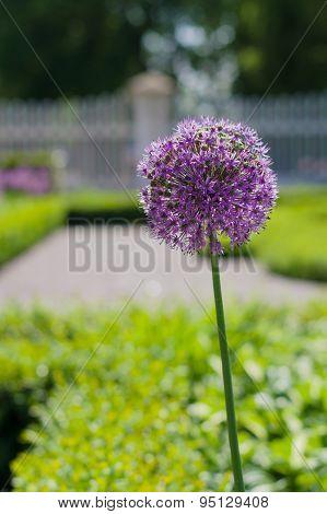 Blossom Of The Garlic Flower (allium Giganteum) In The Garden