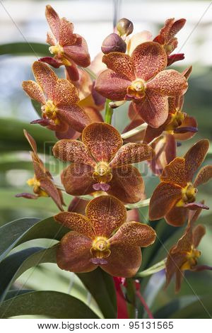 Vasco Ply Ngam Orchid